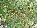 Debregeasia longifolia-2-cauvery peak-yercaud-salem-India.jpg