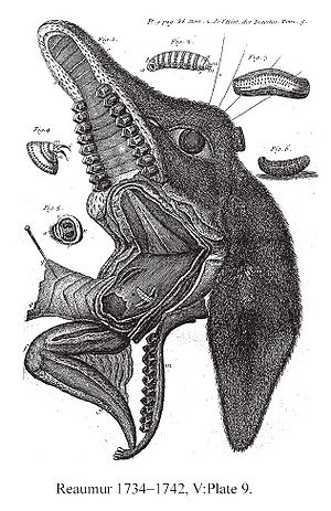 René Antoine Ferchault de Réaumur - Dissected head of a deer showing Bot fly larvae