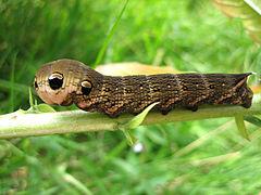 Deilephila elpenor caterpillar 2007.jpg