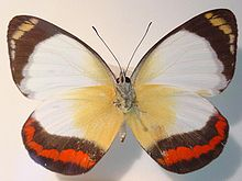 Delias mysis The Union Jack Butterfly.jpg