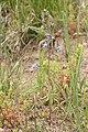 Delphinium nuttallianum 4815.JPG