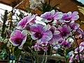 Dendrobium cultivar 85.jpg