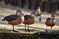 Dendrocygna javanica (Lesser Whistling Duck - Zwergpfeifgans) Weltvogelpark Walsrode 2012-008.jpg