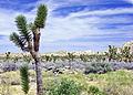 Desert Sky, Joshua Tree NP 4-13 (20022424512).jpg
