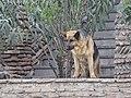 Deutscher Schäferhund, Tiflis 2.jpg