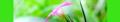 Dianthus armeria. Reader.png