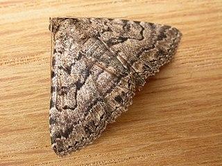 <i>Diatenes</i> Genus of moths