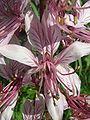 Dictamnus albus flower.JPG