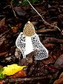 Dictyophora indusiata. Cooktown, Australia. 2010.JPG