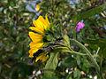 Die Sonnenblume.jpg