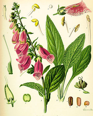 Digitalis - Digitalis purpurea drawings by Franz Köhler