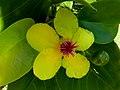 Dillenia alata flower SF21127.jpg
