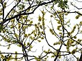 Dillenia pentagyna flowering by Dr. Raju Kasambe DSCN1362 (21).jpg