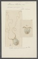 Dinema slabberi - - Print - Iconographia Zoologica - Special Collections University of Amsterdam - UBAINV0274 110 17 0004.tif