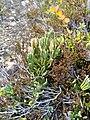 Diphasiastrum alpinum plant (19).jpg