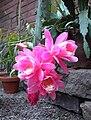 Disocactus phyllanthoides1UME.jpg