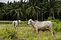 District-Kunak Sabah Cows-in-front-of-Oilpalm-trees.jpg
