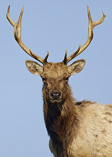 Dominant tule elk bull, Point Reyes National Seashore.jpg