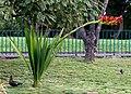 Doryanthes palmeri - Funchal 01.jpg