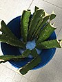 Dragon fruit branches in a bucket.jpg