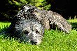 Drew - Irish Wolfhound (21562428508).jpg