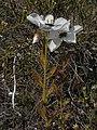 Drosera cistiflora Hangklip 02.jpg