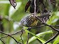 Drymophila striaticeps - Streak-headed Antbird - male.jpg
