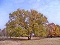 Drzewo w serwatkach nad pisą.JPG