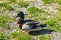 Duck (27479065157).jpg
