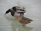Ducks Winter.jpg