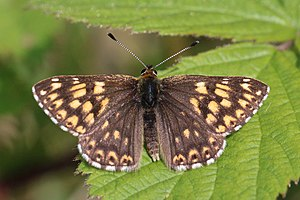 Hamearis lucina - Image: Duke of Burgundy (Hamearis lucina) male