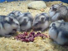 File:Dwarf hamsters eating cooked, frozen beans - 04.ogv