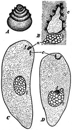 EB1911 Plants (Cytology) - spermatozoid and fertilization in Zamia.jpg