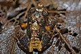 Eastern Cuba Grass Frog (Eleutherodactylus feichtingeri) (8572426994).jpg