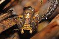 Eastern Cuba Grass Frog (Eleutherodactylus feichtingeri) (8572427108).jpg