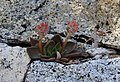 Echeveria-on-granite-Yosemite.nohome.jpg