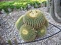Echinocactus grusonii 2.jpg