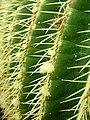 Echinocactus grusonii 2019-12-13 6522.jpg