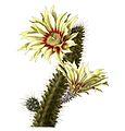 Echinocereus papillosus pm.jpg