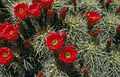 Echinocereus triglochidiatusUGA0807034.jpg
