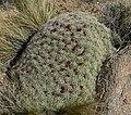 Echinocereus triglochidiatus 10.jpg