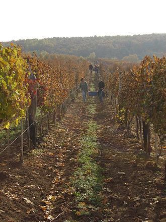 Egri Bikavér - A vinyard in Eger, where Bikavér is produced