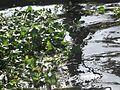 Eichhornia crassipes - Kerala 2.jpg