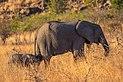 Elefantes africanos de sabana (Loxodonta africana), parque nacional Kruger, Sudáfrica, 2018-07-25, DD 05.jpg