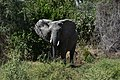 Elephant, Ruaha National Park (3) (28696244946).jpg