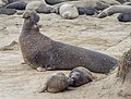 Elephant seals at Ano Nuevo (91577).jpg