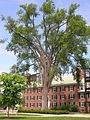 Elm Tree between Fahey Hall and Russell Sage building at Dartmouth College, Hanover, NH June 2011.jpg