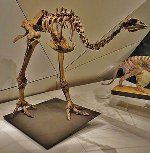 Eastern moa - Skeleton in Musee des Confluences, Lyon