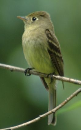 Empidonax occidentalis2.jpg