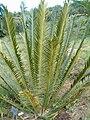 Encephalartos lebomboensis KirstenboshBotGard09292010D.JPG